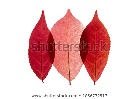 Closeup Colorful Burning Bush Leaves on White Stock photo © ozgur