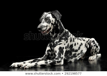 cute dalmatians lying in black background photo studio stock photo © vauvau