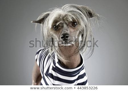 Foto stock: Chinês · cão · cinza · foto · estúdio · feliz
