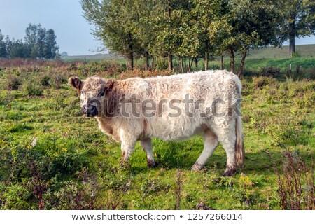 Fiatal tehén holland természet fej vad Stock fotó © compuinfoto