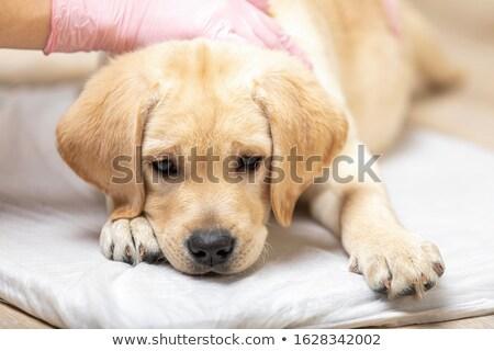 Stock fotó: Aranyos · labrador · kutyakölyök · kutya · kezek · állatorvosi