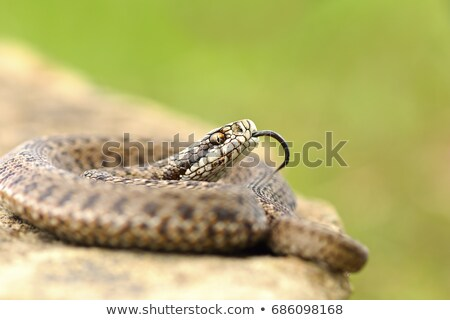 young meadow viper in aggressive position Stock photo © taviphoto