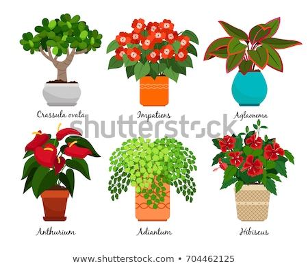 Aglaonema Room Plant in Pot Vector Illustration Stock photo © robuart
