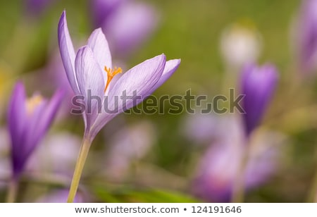 Nice autumn flowers in the meadow, Colchicum Stock photo © digoarpi