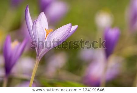 najaar · krokus · bloem · natuur · groene · plant - stockfoto © digoarpi