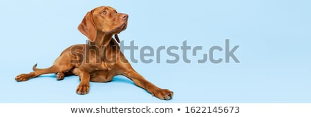 Brown dog on blue background Stock photo © colematt