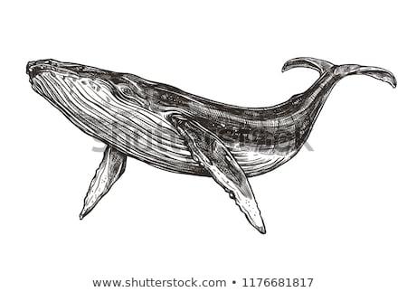 azul · baleia · branco · marinha · animais - foto stock © bonnie_cocos