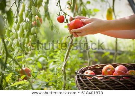 tomato harvest in autumn stok fotoğraf © mythja
