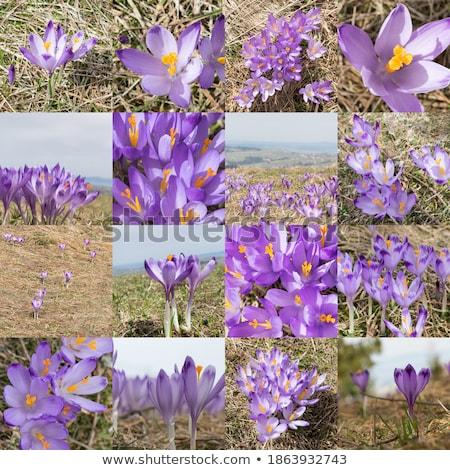 Bahar çayır çiğdem çiçekler Stok fotoğraf © manfredxy