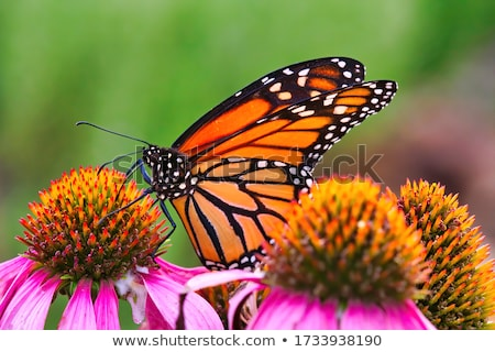 Colorful butterfly feeding Stock photo © Ansonstock