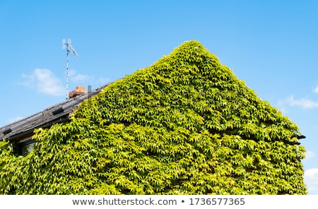 Sarmaşık çatı üst yeşil pencereler duvarlar Stok fotoğraf © morrbyte