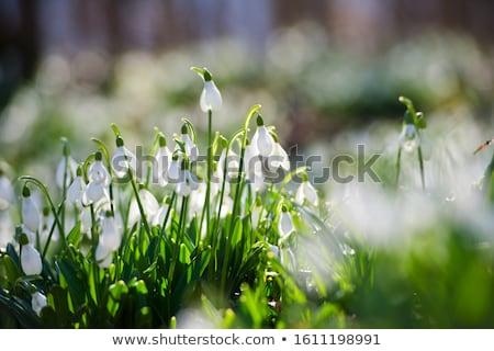 hó · kettő · korai · tavasz · virágok - stock fotó © sahua