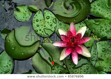 water lily closeup stock photo © rabbit75_sto