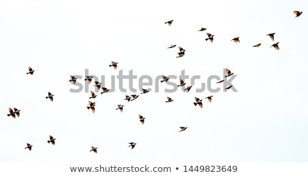 flying  bird sparrow isolated on white background Stock photo © Konstanttin