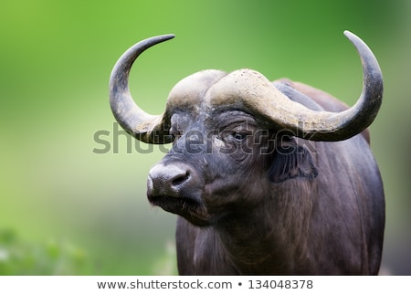 African Buffalo Portrait Stock photo © jacojvr