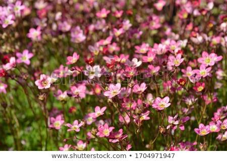 ストックフォト: 小 · ピンク · 岩 · 工場 · 花 · 葉