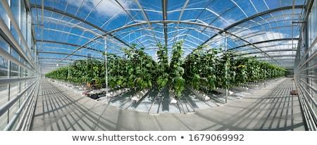 greenhouse culture stock photo © ivonnewierink