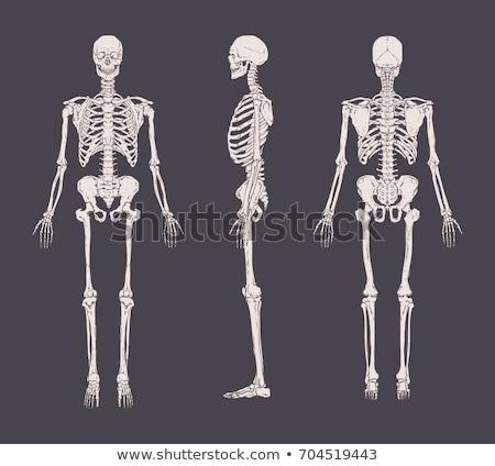 Emberi koponya hátulnézet részletes helyes fehér Stock fotó © Pixelchaos