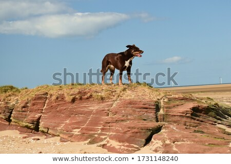 Hond rotsen cute dier lopen Stockfoto © speedfighter
