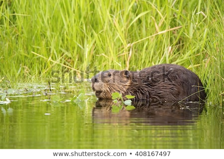 canadian beaver in the water isolated stock photo © michaklootwijk
