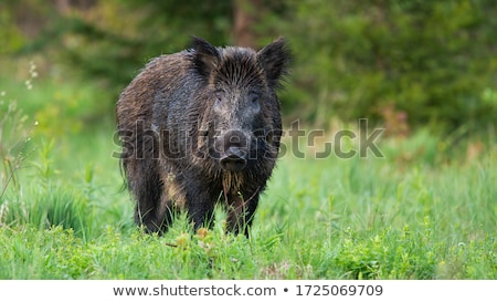 Wild Boar (Sus scrofa) Stock photo © dirkr