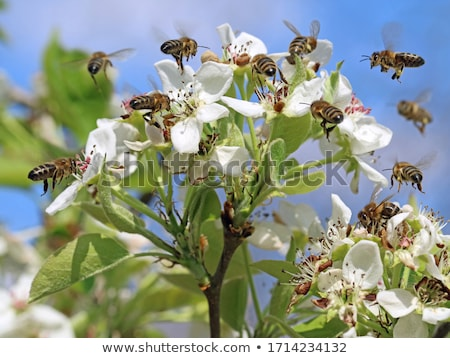 Stock photo: Bee collecting pollen from pear blossom