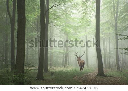 Szarvas erdő piros évszak ősz ősz Stock fotó © scenery1