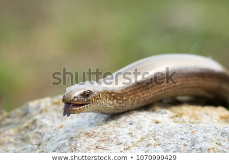 Slow worm or legless lizard tongue Stock photo © icefront