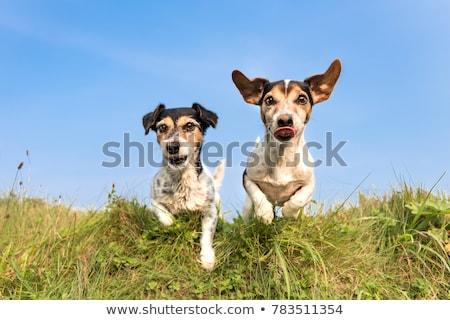 kettő · kutyák · játszik · park · vegyes · fajta - stock fotó © raywoo