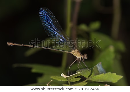 (Phaon irridipennis) Glistening Demoiselle Family Calopterygidae Stock photo © davemontreuil