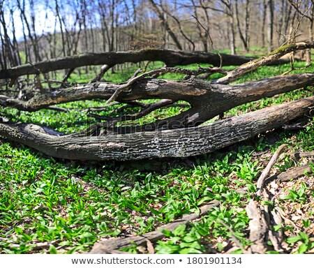 死んだ 木 森林 草 木材 風景 ストックフォト © enricoagostoni