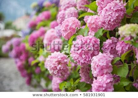 pink hydrangea in garden Stock photo © compuinfoto