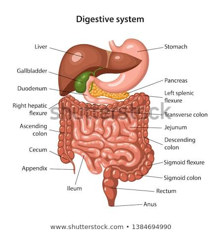 Small intestine Stock photo © bluering
