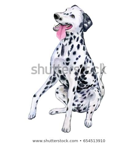Young dalmatian Stock photo © Saphira