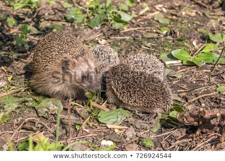 family of hedgehogs Stock photo © adrenalina