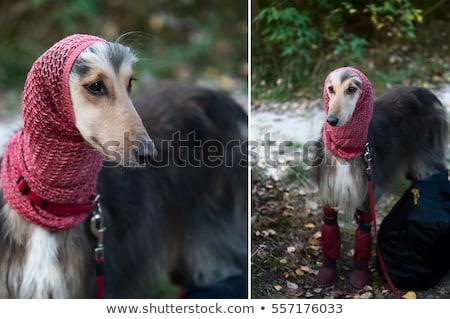 portré · kutya · agár · ahogy · férfi · lány - stock fotó © wildstrawberry