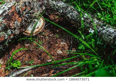 白 菌 草 新鮮な 成長 ストックフォト © romvo