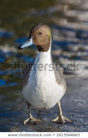 Pintail Duck Male in Sunlight Stock photo © suerob
