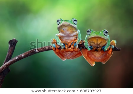 isolated colorful tree frog stock photo © taviphoto