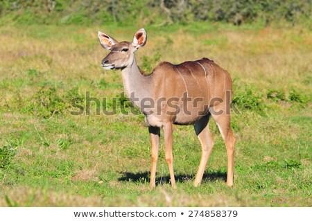 Female Kudu standing in the grass. Stock photo © simoneeman