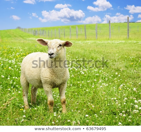 young curious sheep in the grass Stock photo © compuinfoto
