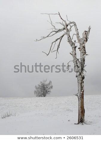 Dried Trees II Stock photo © craig