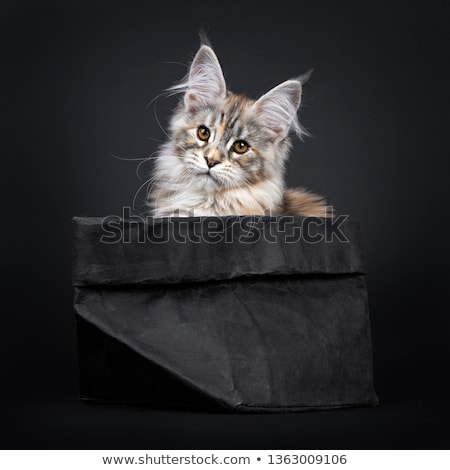 Stock photo: Amazing silver tortie Maine Coon cat on black background