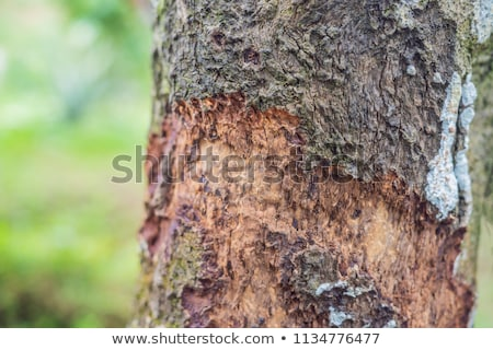 cinnamon tree bark taken on plantation malaysia stock photo © galitskaya