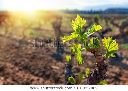 Vers wijnstok bladeren Maakt een reservekopie licht Blauw Stockfoto © andreasberheide