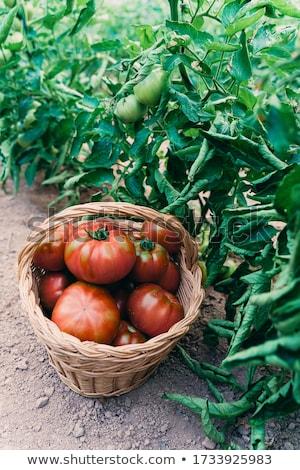 supérieurs · homme · effet · de · serre · maison · augmenté · tomates - photo stock © highwaystarz