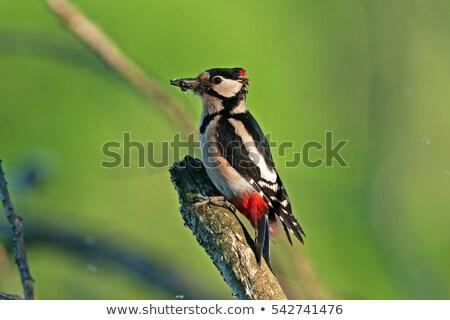 Kuş siyah Çek Cumhuriyeti Avrupa yaban hayatı oturma Stok fotoğraf © artush