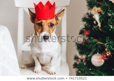 Picture of jack russell, small dog in red paper crown, sits near Stock photo © vkstudio