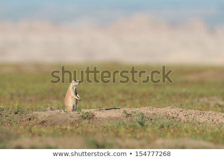 préri · kutya · ül · föld · természet · állat - stock fotó © bobkeenan