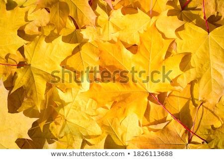 ストックフォト: Full Frame Bunch Orange Autumn Maple Leaves Tree